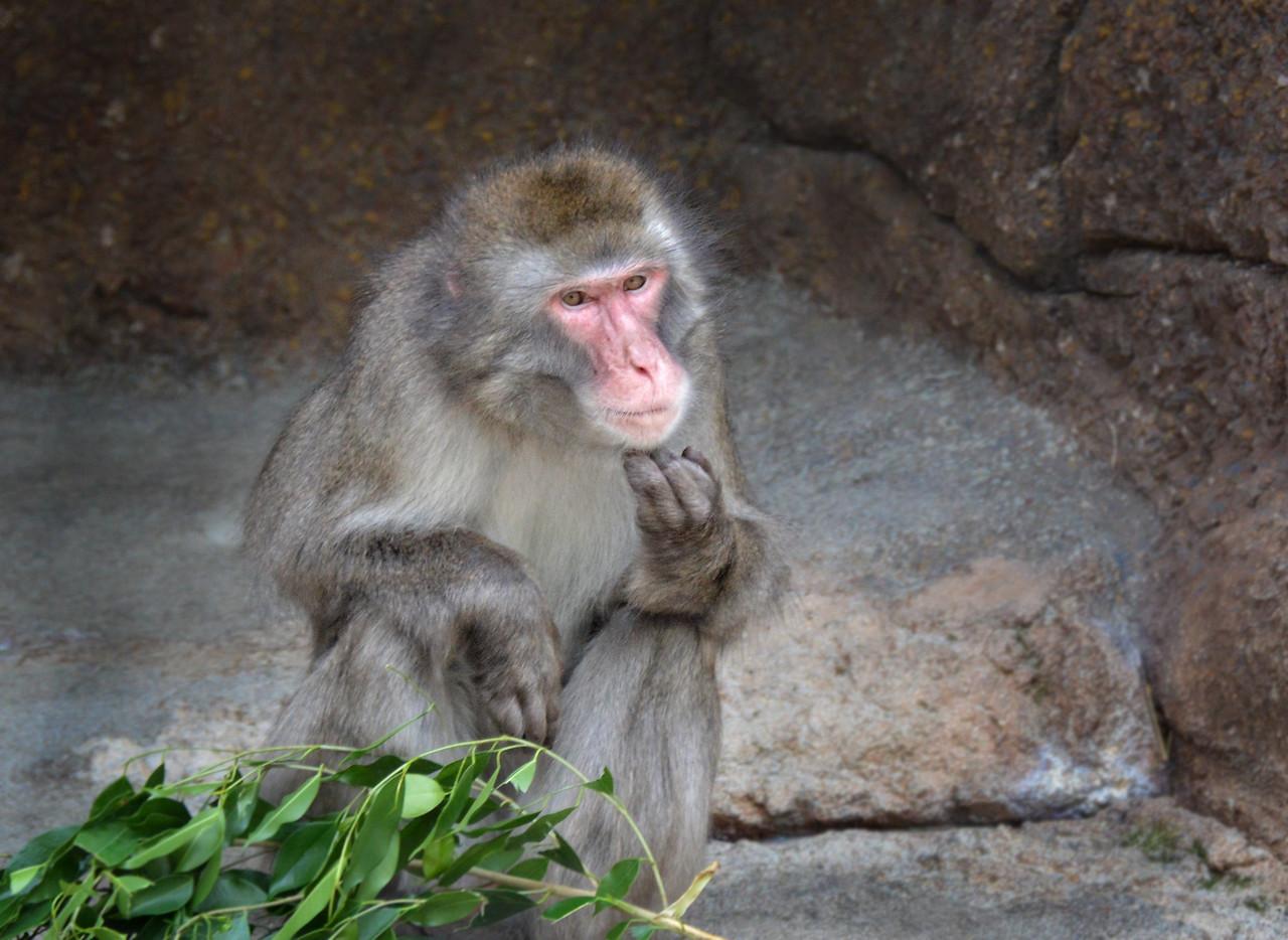 Macaque Pondering