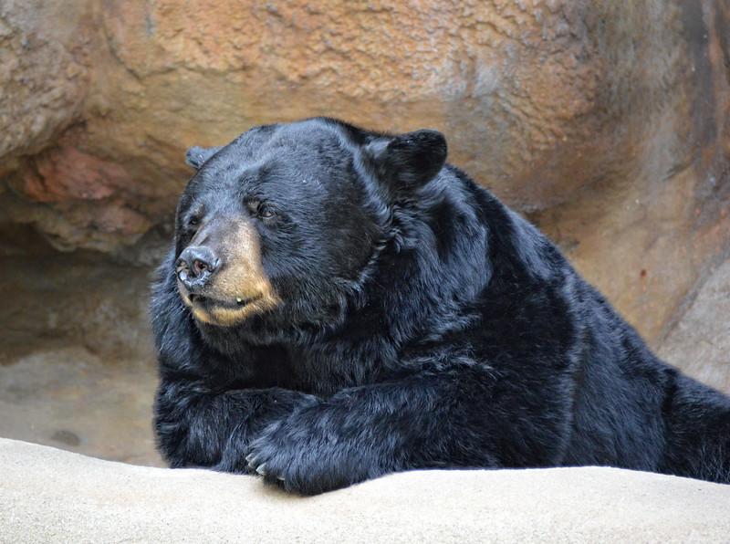 Black Bear/15