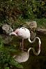Flamingo-5091/17