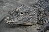 Gator-2665/15