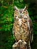 Great Horned Owl-6009/13