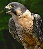 Peregrin Falcon-6012/13