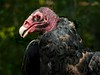 Turkey Vulture-6182/13