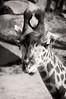 Young Giraffe-5073bw/17