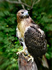 Red-Tailed Hawk-982/13