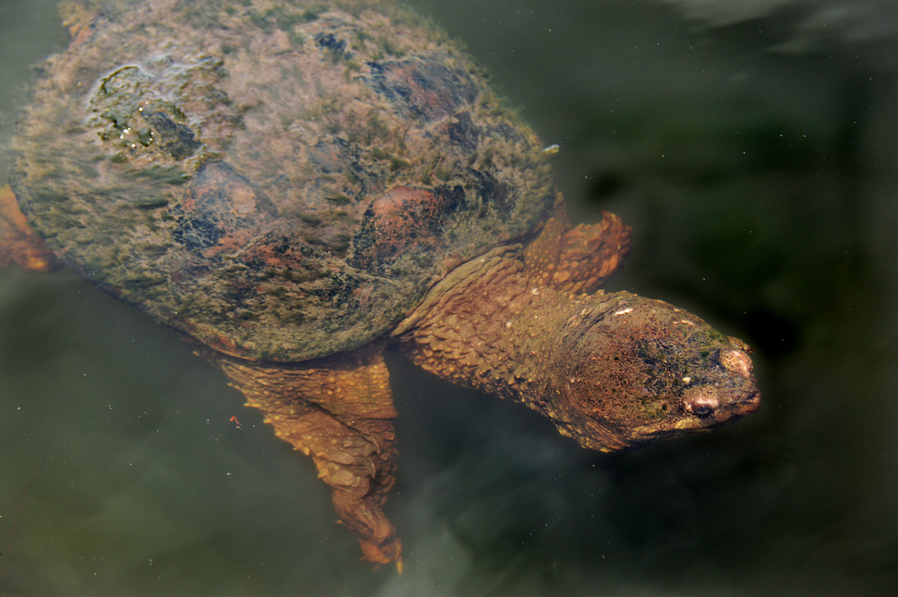 Snapping Turtle-191
