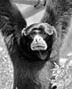 Siamang Gibbon-2775bw/15