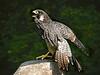 Peregrin Falcon-957/13