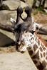 Young Giraffe-5073/17