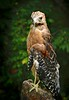 Red-Shouldered Hawk-081/13