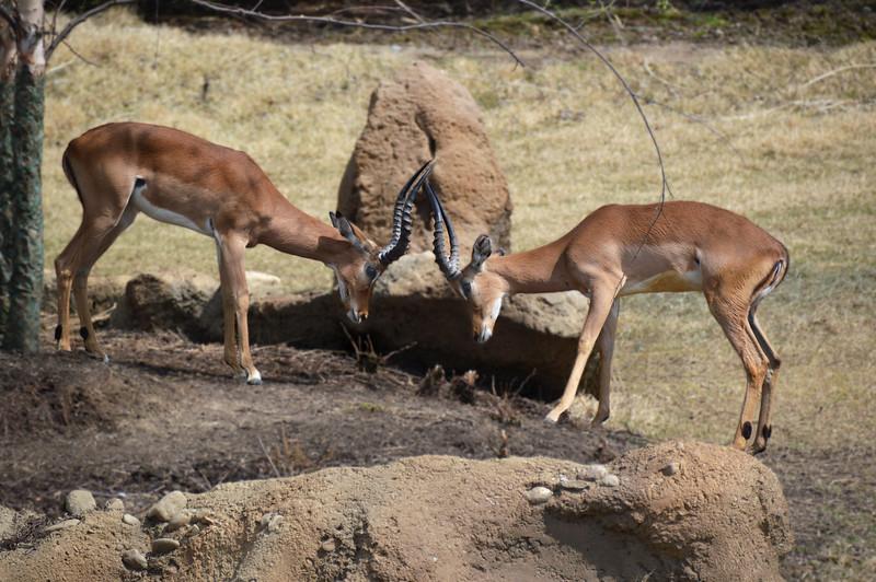 Thomson's Gazelles/15