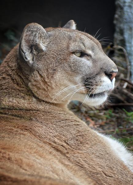 Mountain Lion-696/15