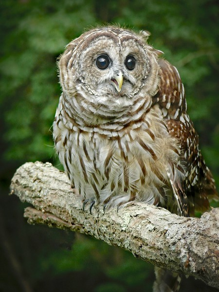 Barred Owl-108/13
