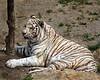 White Tiger/15