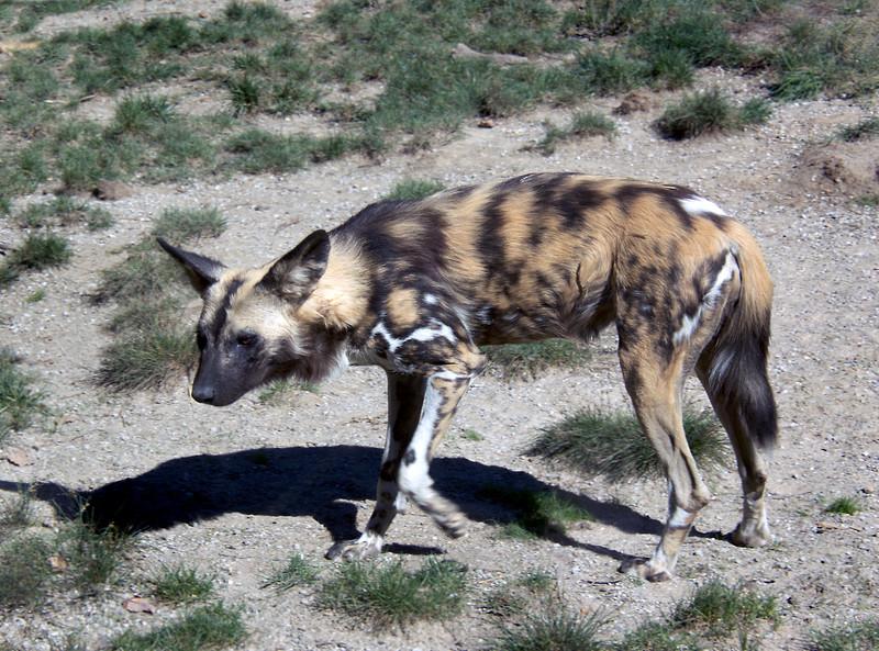Hyena-5141/17