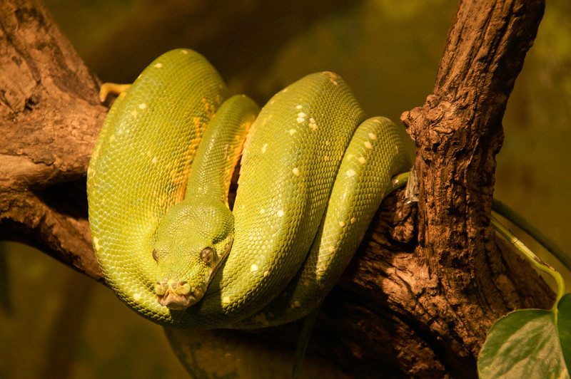 Green Tree Python-5012/17