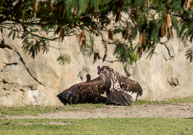 Vulture-5126/17