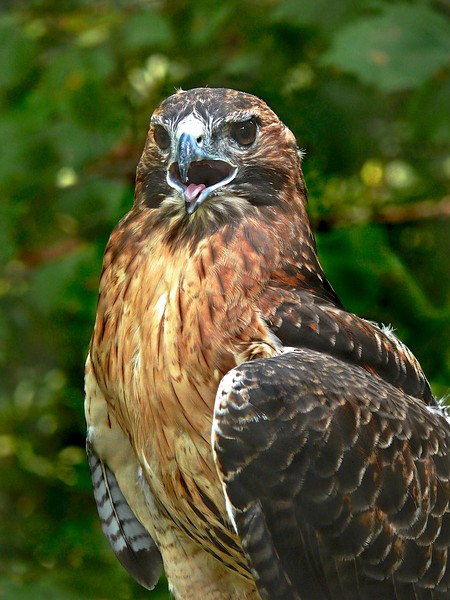 Red_Tailed Hawk-990/13