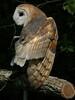 Barn Owl-6120/13