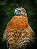 Red Shouldered Hawk-102/13