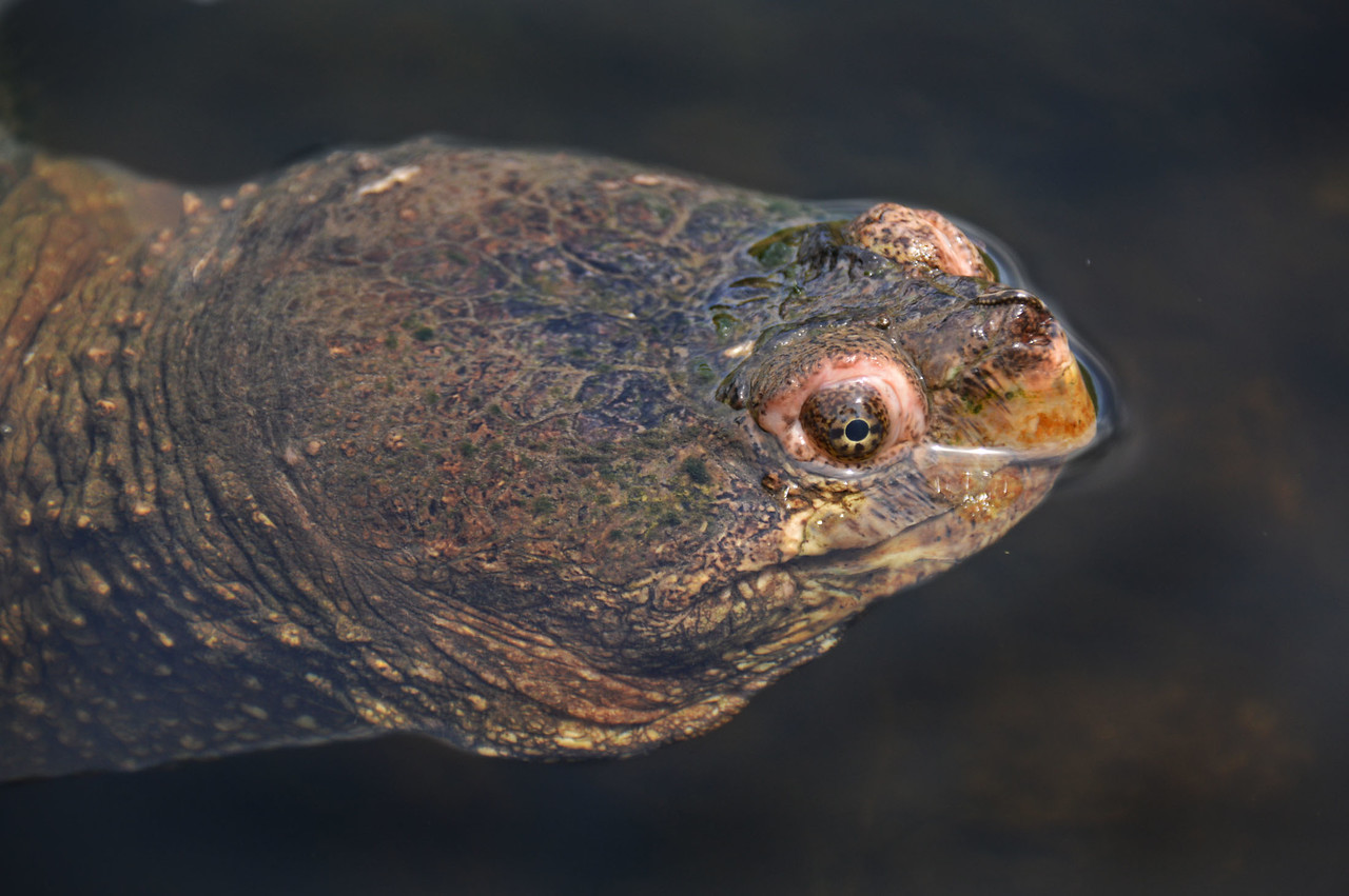 Snapping Turtle-196