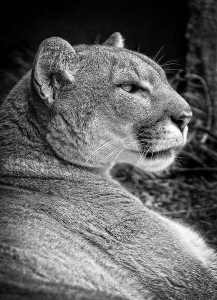 Mountain Lion-696bw/15