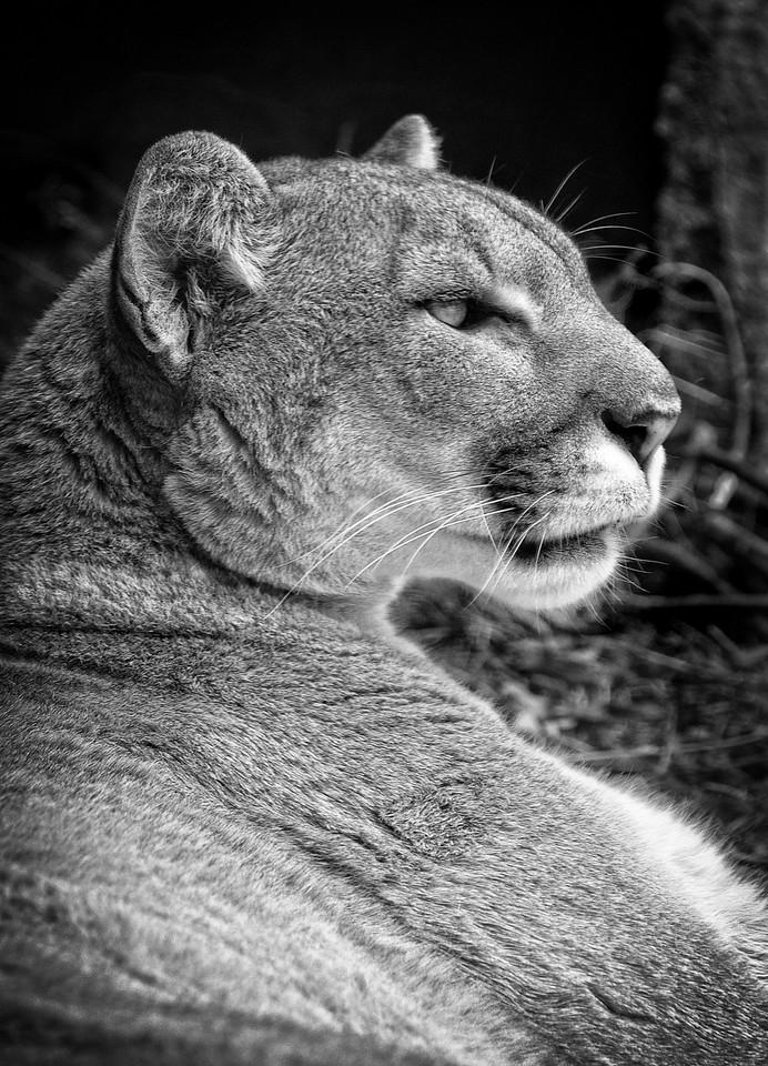 Mountain Lion-bw