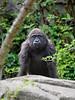 Young Gorilla/15