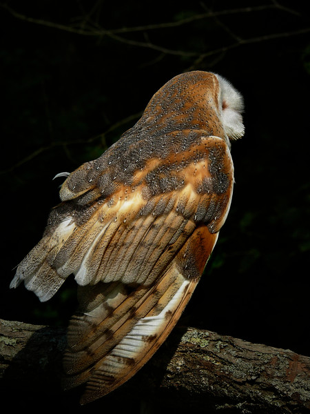 Barn Owl-108/13