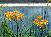 Day Lilies, Galloway Village