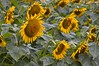 Sunflowers-4242