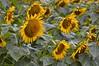 Sunflowers-4242
