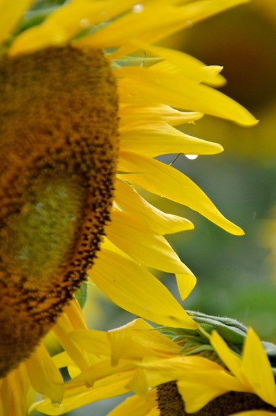 Sunflower-4287