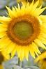 Sunflower-4248