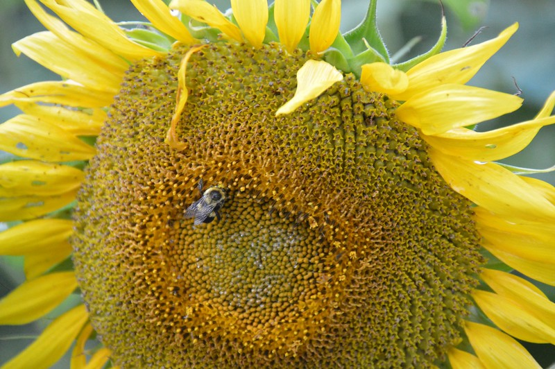 Sunflower-4269