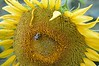 Sunflower-4269