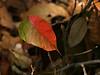 Leaf (duh!)