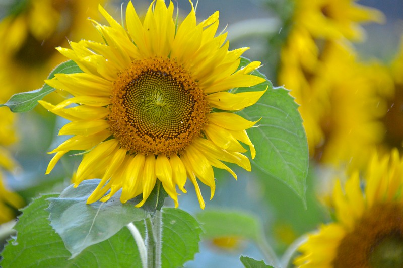 Sunflower-4272