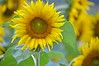 Sunflower-4272