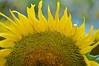 Sunflower-4261