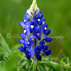Beautiful bright blue single bluebonnet in bloom .