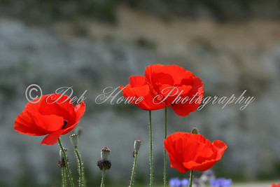 Beautiful bright red poppies in bloom.
