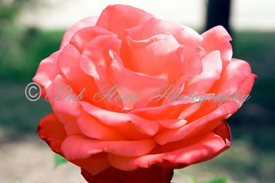 A rose close-up in full bloom.