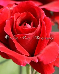 A red rose close-up in full bloom.