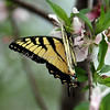 Yellow swallow tail butterfly on a peach blossom.