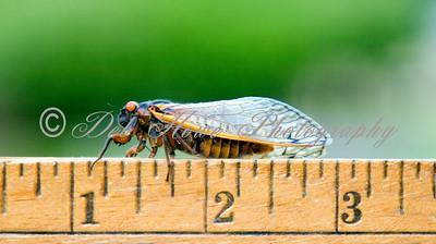 17 year adult Cicada sitting on a ruler