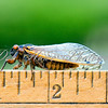 17 year adult Cicada sitting on a ruler