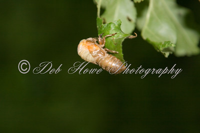 Adult Cicada starting to emerge from it's shell on the tree leaf.