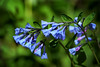 Winton Woods-Virginia Bluebells