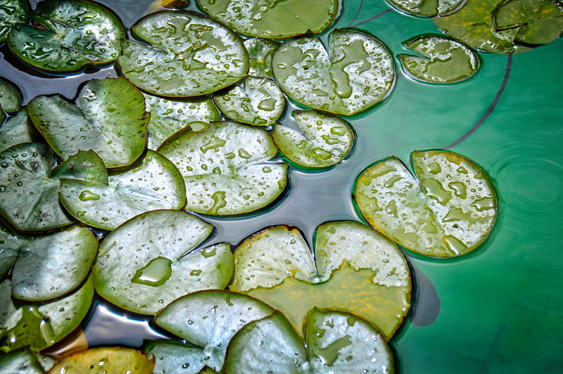 Water Lilies-4624